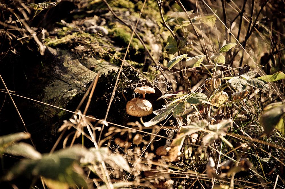 taunus-fuchstanz-pilze-sammeln